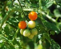 Tomates anaranjados que maduran en la vid Imágenes de archivo libres de regalías