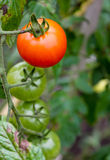Tomates brilhantes Foto de Stock Royalty Free
