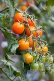 Tomates-cerises d'or de Sun sur la vigne Photo stock