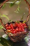 Tomates-cerises dans un panier Photo stock