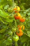 Tomates-cerises de variété de sucre de Sun Photos libres de droits