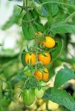 Tomates-cerises jaunes dans le plan rapproché de serre chaude images libres de droits