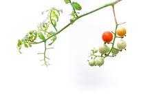tomates-cerises organiques, d'isolement sur le fond blanc photos stock