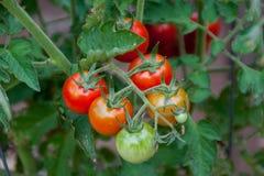 Tomates-cerises rouges, mûrissant sur la vigne Image stock