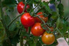 Tomates-cerises rouges, mûrissant sur la vigne Photo stock