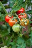 Tomates-cerises rouges sur la vigne Photographie stock