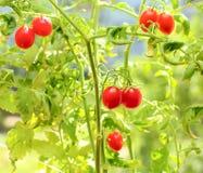 tomates-cerises sur des branchements Photos libres de droits