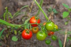 Tomates-cerises verdâtres - tomates-cerises non mûres de groupe dans un gre Photographie stock libre de droits