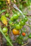 Tomates-cerises verdâtres - tomates-cerises non mûres de groupe dans un gre Photos libres de droits