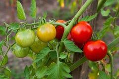 Tomates-cerises verdâtres - tomates-cerises non mûres de groupe dans un gre Image libre de droits