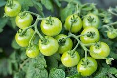Tomates-cerises vertes dans de jardin le plan rapproché dehors Photographie stock libre de droits
