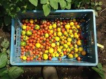 Tomates colorées Photos libres de droits