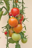 Tomates colorées dans le jardin Photo libre de droits