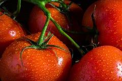 Tomates con las gotitas de agua Fotografía de archivo libre de regalías
