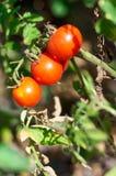 Tomates crecientes en el jardín, cierre para arriba Imagenes de archivo