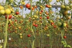Tomates crecientes en invernadero Fotografía de archivo