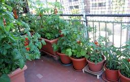 Tomates crecientes en la terraza de la construcción de viviendas Foto de archivo libre de regalías