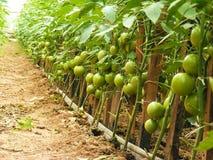 Tomates crescentes Foto de Stock