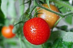 Tomates crescentes Foto de Stock Royalty Free