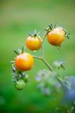 Tomates crescentes Fotografia de Stock