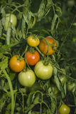 Tomates crescentes Imagem de Stock