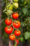 Tomates crescentes do jardim Fotos de Stock