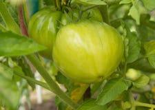 Tomates crescentes em seu jardim Os tomates verdes amadurecem no jardim Foto de Stock