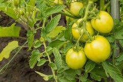 Tomates crescentes em seu jardim Os tomates verdes amadurecem no jardim Imagem de Stock Royalty Free