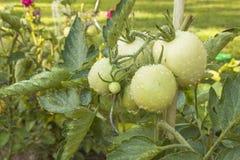 Tomates crescentes em um jardim doméstico Imagens de Stock Royalty Free