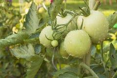 Tomates crescentes em um jardim doméstico Imagens de Stock