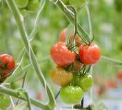 Tomates crescentes em uma estufa Fotografia de Stock