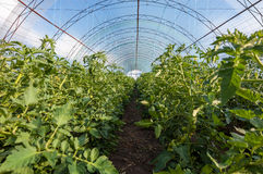 Tomates crescentes em uma estufa Foto de Stock