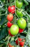 Tomates crescentes em uma estufa Fotos de Stock