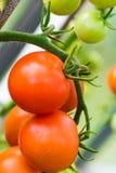 Tomates crescentes na estufa Foto de Stock Royalty Free