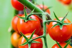 Tomates crescentes na estufa Fotos de Stock