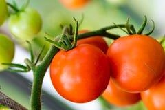 Tomates crescentes na estufa Fotografia de Stock Royalty Free