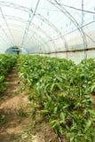 Tomates crescentes na estufa A tecnologia da irrigação de gotejamento na estufa Imagem de Stock