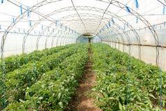 Tomates crescentes na estufa A tecnologia da irrigação de gotejamento na estufa Fotos de Stock Royalty Free