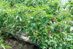 Tomates crescentes na estufa A tecnologia da irrigação de gotejamento na estufa Fotografia de Stock