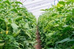 Tomates crescentes na estufa A tecnologia da irrigação de gotejamento na estufa Fotografia de Stock Royalty Free