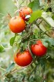 Tomates crescentes no jardim, fim acima Foto de Stock Royalty Free