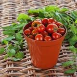 Tomates crescentes - potenciômetro da planta da terracota Foto de Stock
