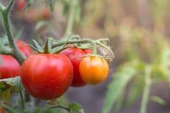 tomates crescentes vermelhos com verde Imagem de Stock