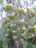 Tomates crescidos atribuição Foto de Stock
