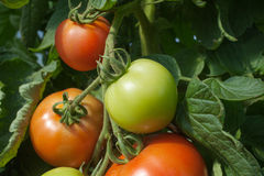 Tomates croissantes. Photo stock