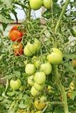 Tomates croissantes. Photo libre de droits