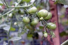 Tomates croissantes Photographie stock libre de droits