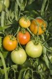 Tomates croissantes Photos libres de droits