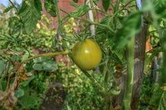 Tomates croissantes Photo libre de droits