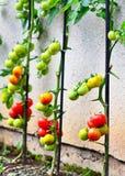 Tomates croissantes Image stock